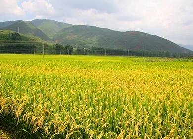 抗稻瘟病水稻新品种E两优476  Resistant rice blast new rice variety E L