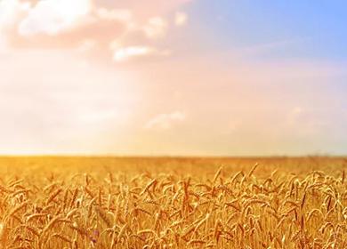 高效小麦双单倍体育种新技术  Efficient DH technique of wheat breedi
