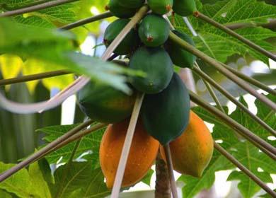 番木瓜绿色安全贮运技术  The green and safe transportation of papaya