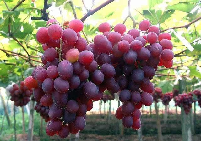 葡萄标准化种植技术