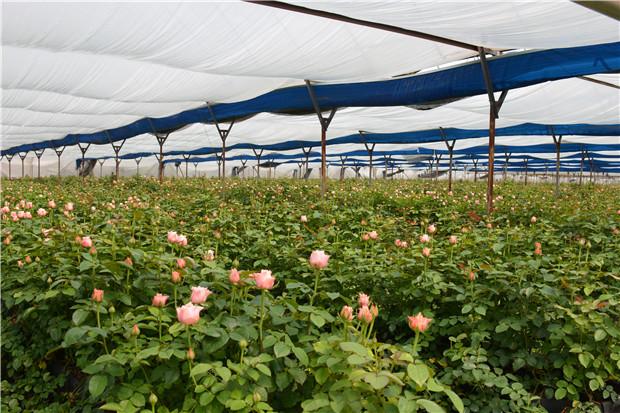 花卉种苗繁育及规范化种植技术