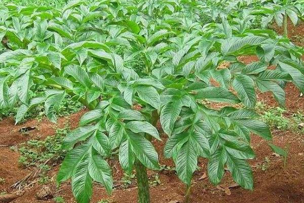 魔芋与半夏间作的栽培方法