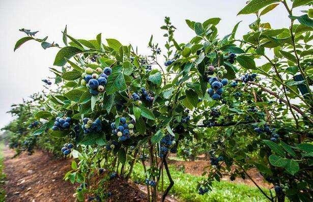 """""""一种蓝莓树移栽方法""""发明专利"""